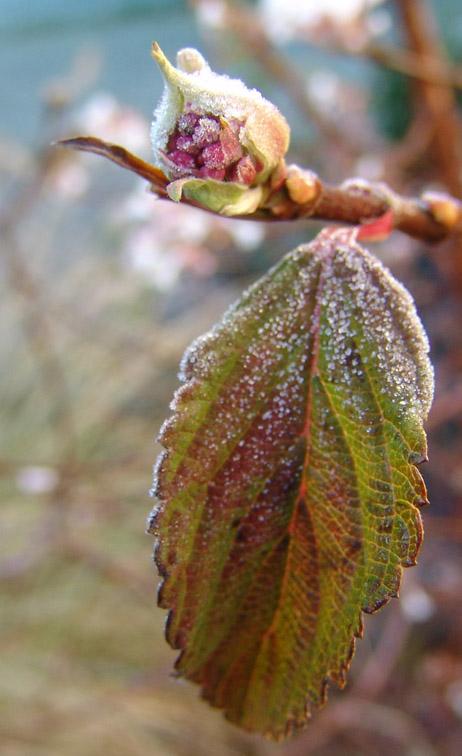 Knospe im Frost