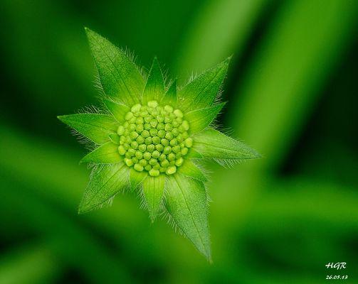 Knospen der Acker-Witwenblume