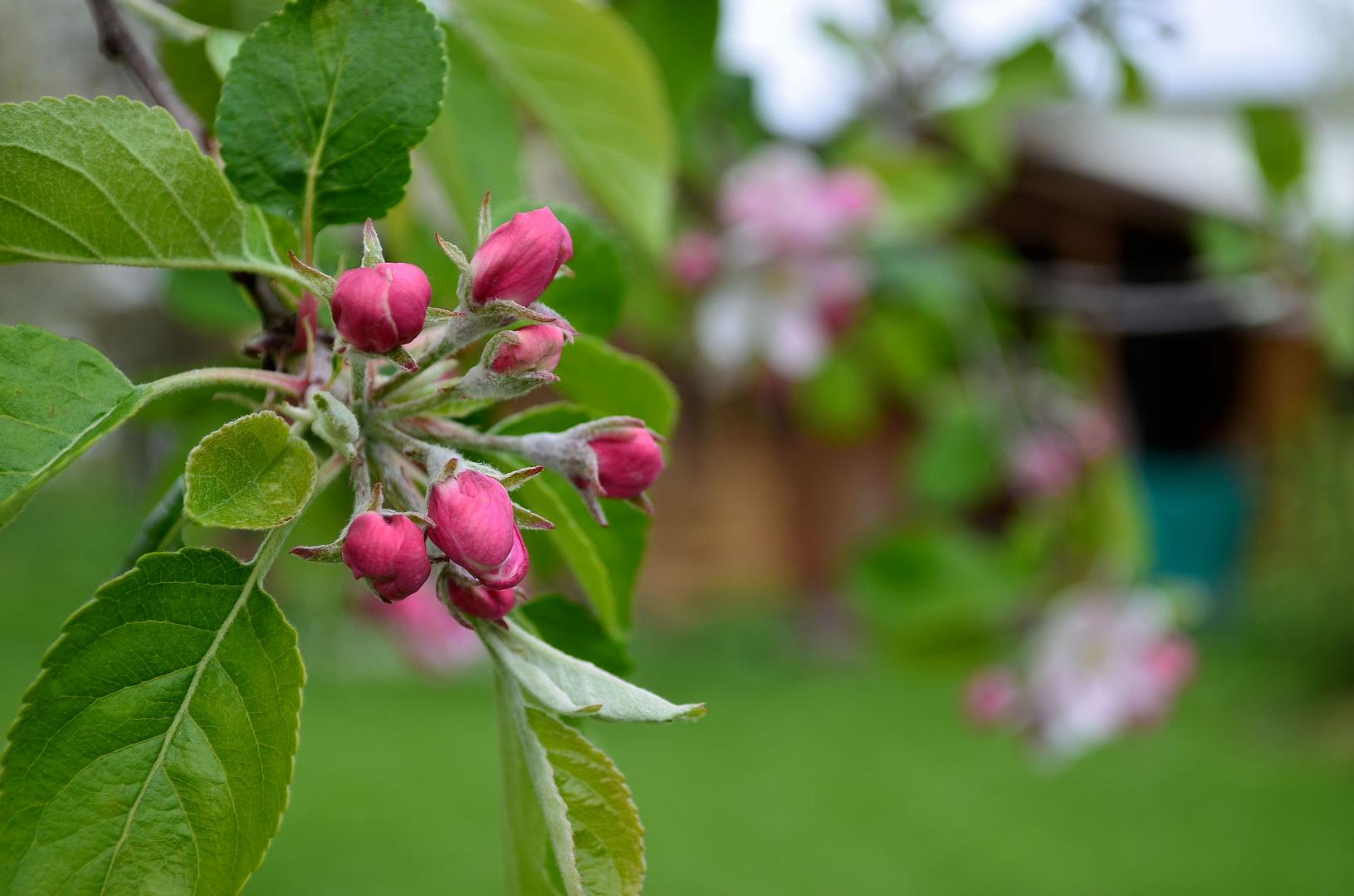 Knospen der Apfelblüte ...
