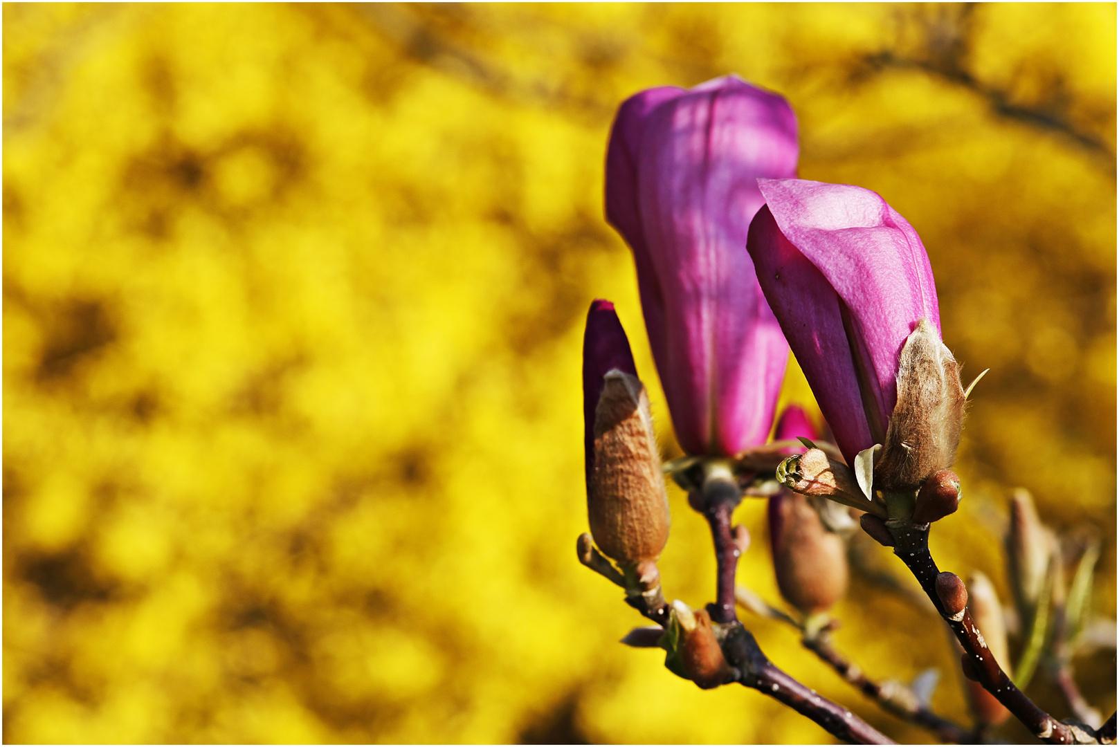 Knospen der Magnolie