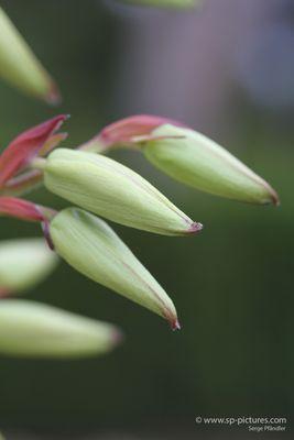 Knospen von Blüten der Yucca-Palme