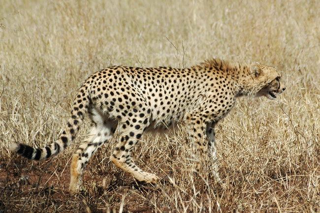 KNP - Gepard