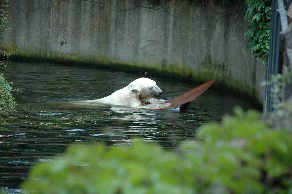 Knut, der Surfer