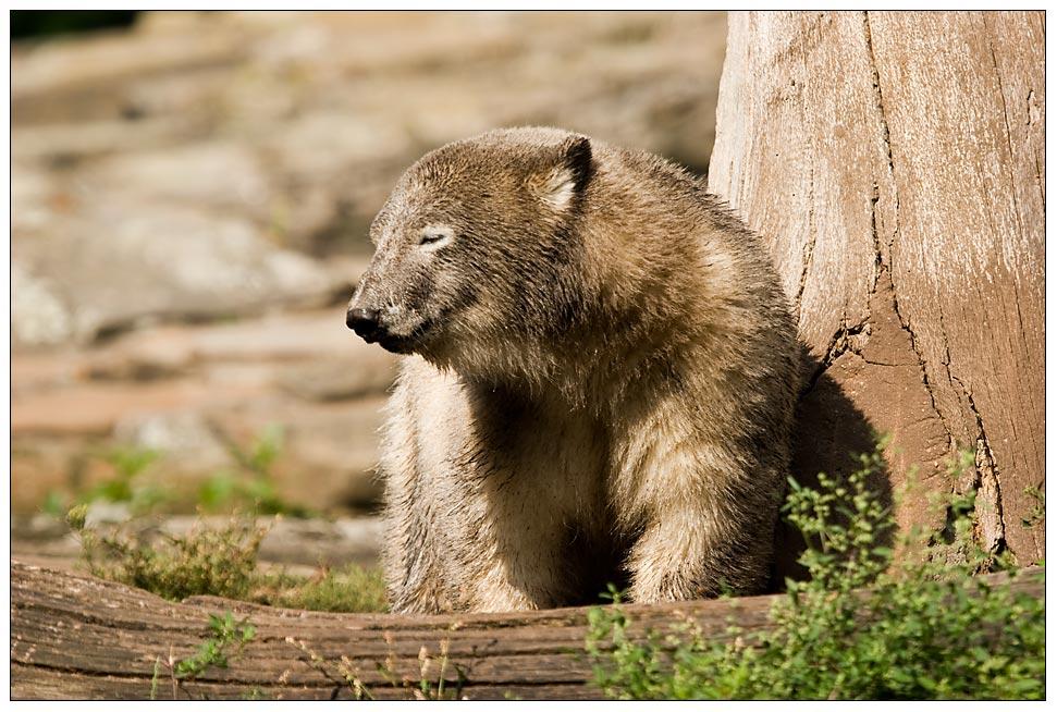 Knut - Ich möchte so gern ein Braunbär sein ...