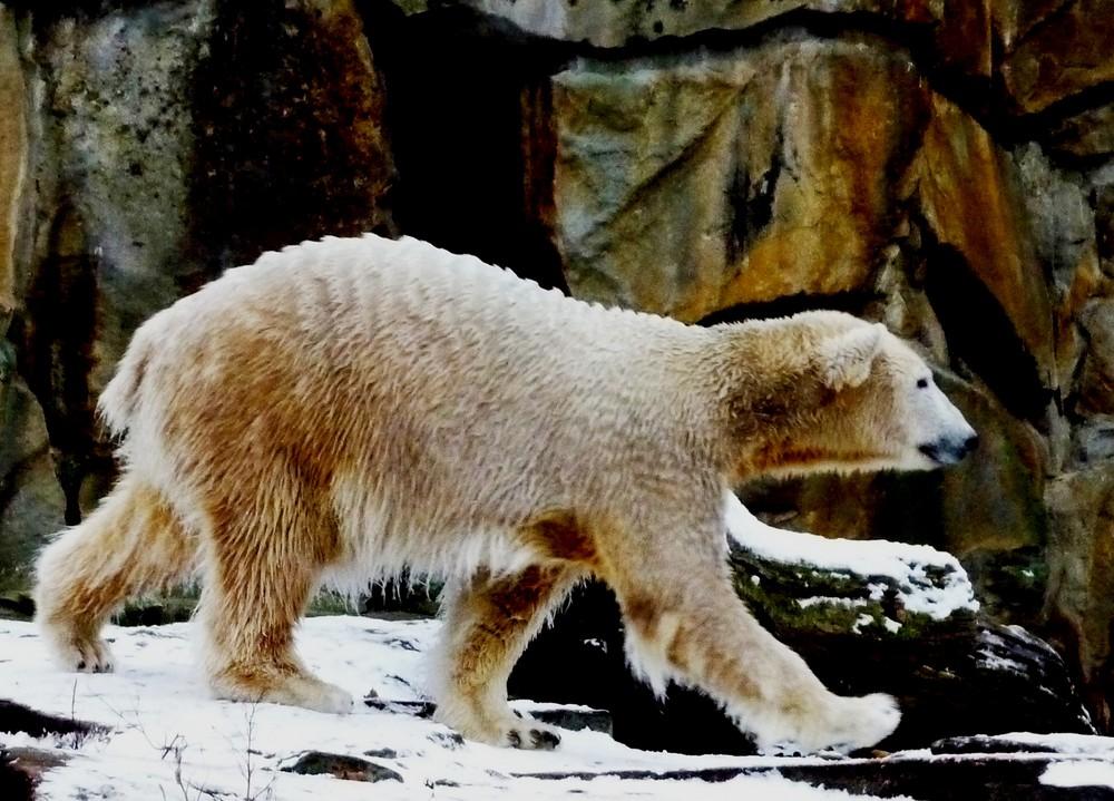 Knut: Oh nein! Noch mehr Fotografen