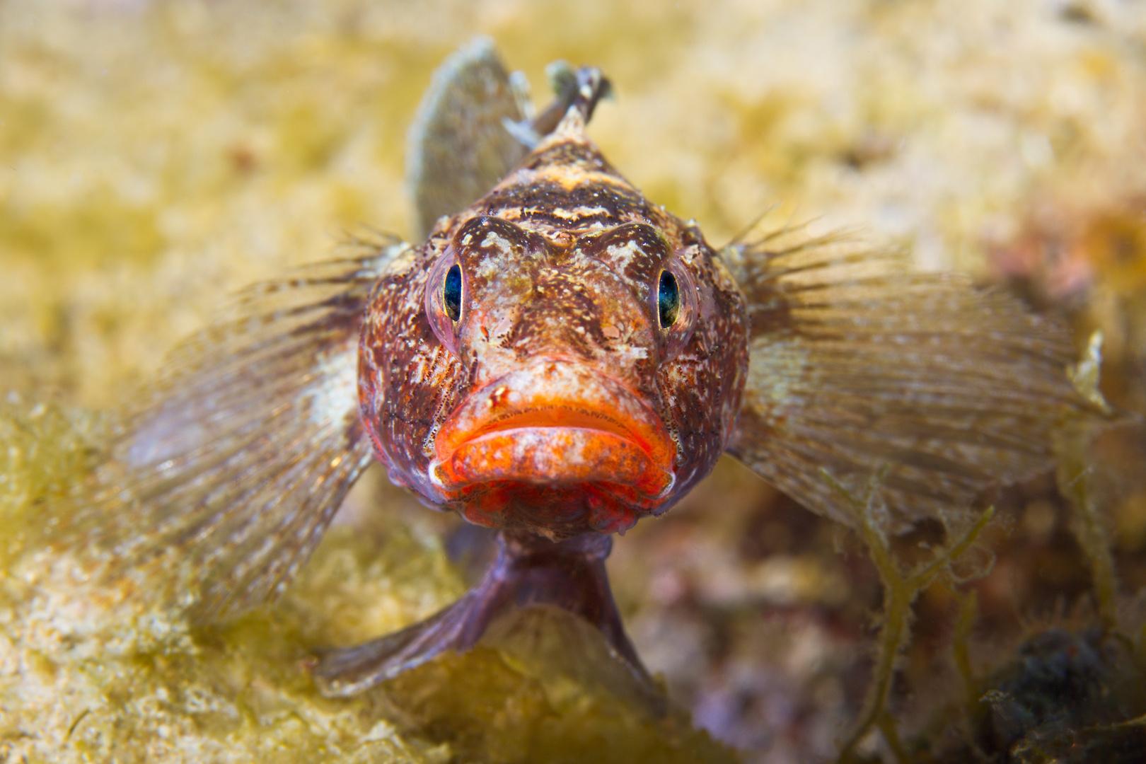 Knutschfisch im Mittelmeer