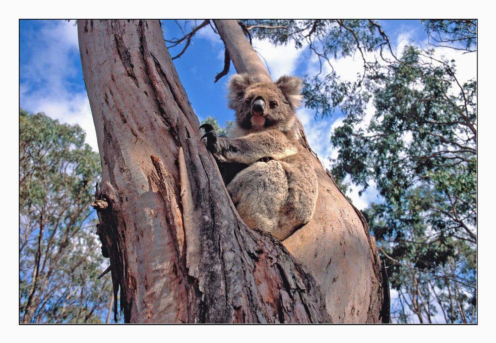 koala auf einem eukalyptusbaum foto bild australia. Black Bedroom Furniture Sets. Home Design Ideas