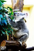 Koala beim essen