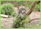 Koala dans son eucalyptus