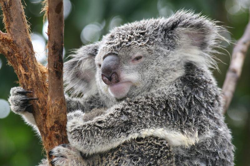 Koala - ein wenig müde 4