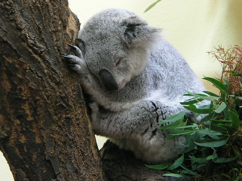 Koala gaaanz müde