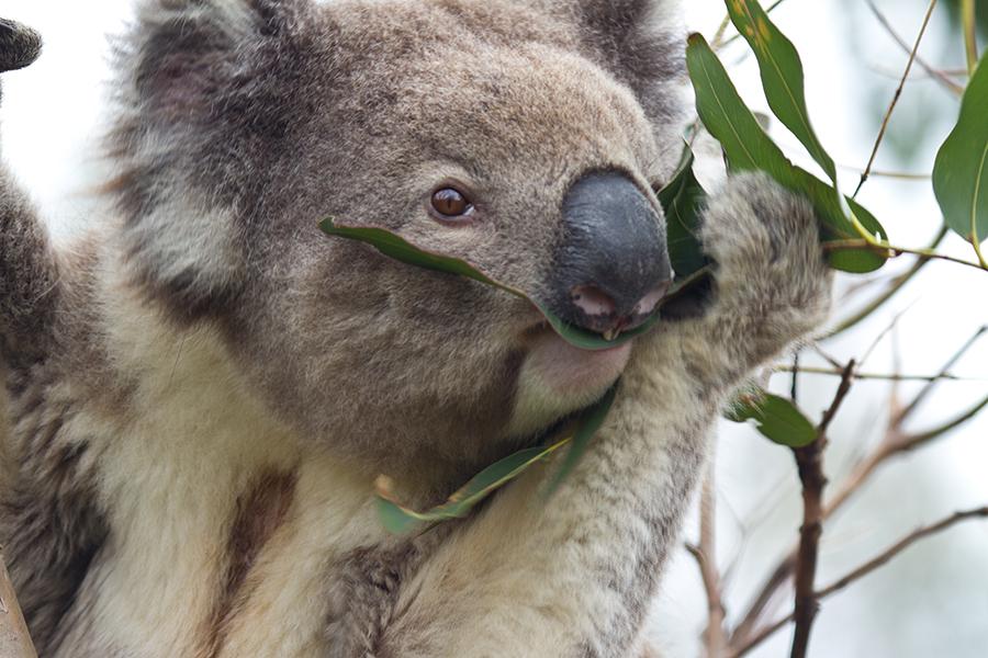 Koala im Great Otway National Park Australien 30.09.2011