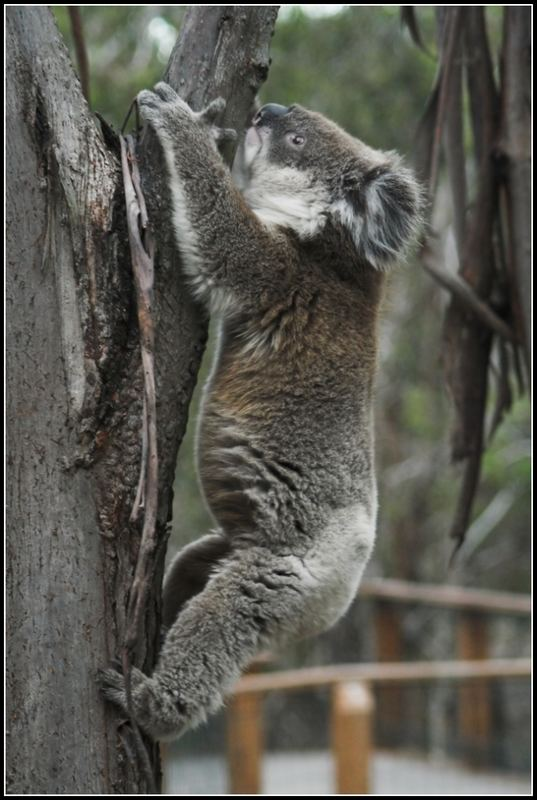 Koala in Action