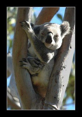 Koala in Noosa-Heads