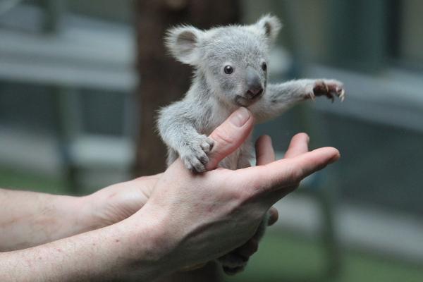 koala jungtier aus dem zoo duisburg foto bild tiere tierkinder natur bilder auf fotocommunity. Black Bedroom Furniture Sets. Home Design Ideas