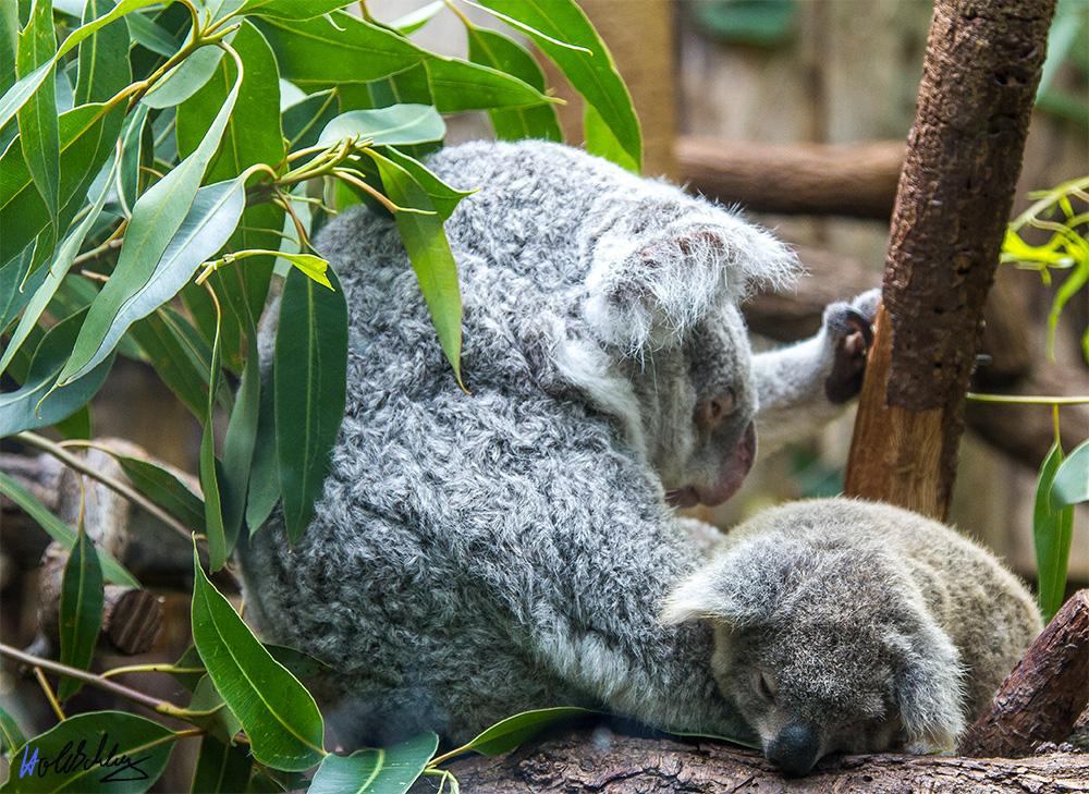 Koala Mama, mit Kind