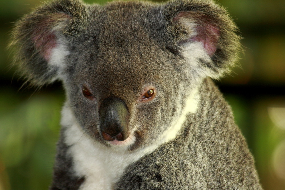 Koala Porträt