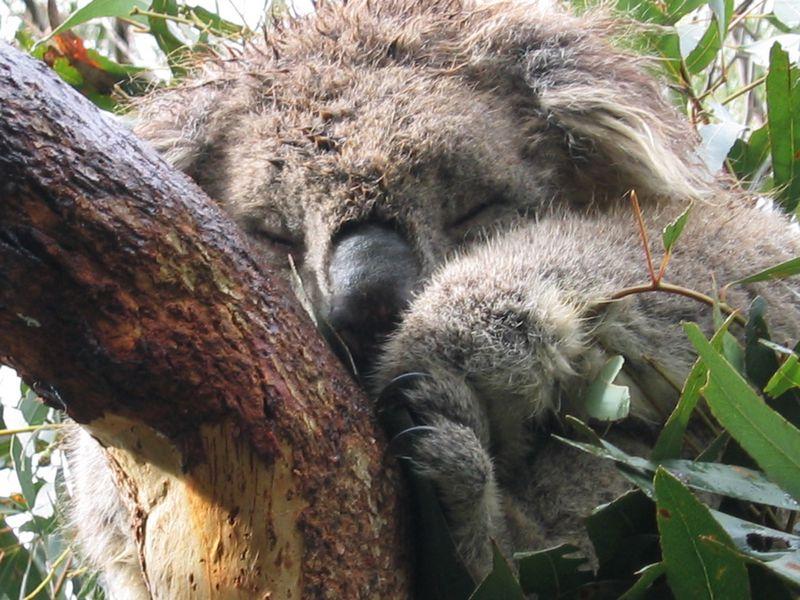 Koala Schläfchen