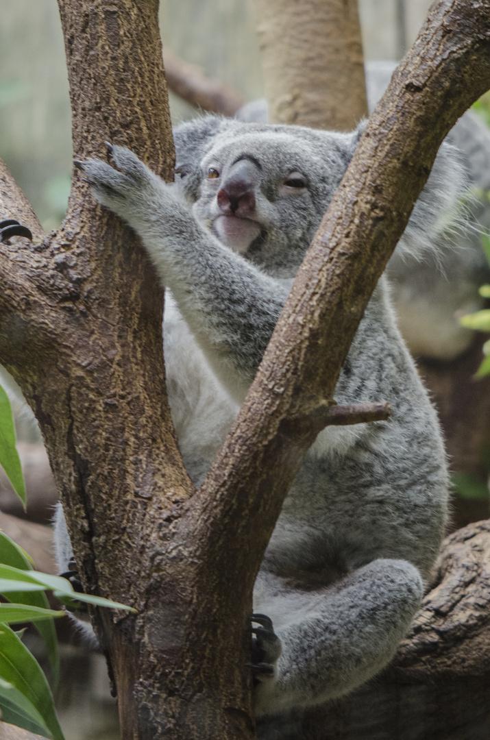 Koala (Zoo Duisburg)