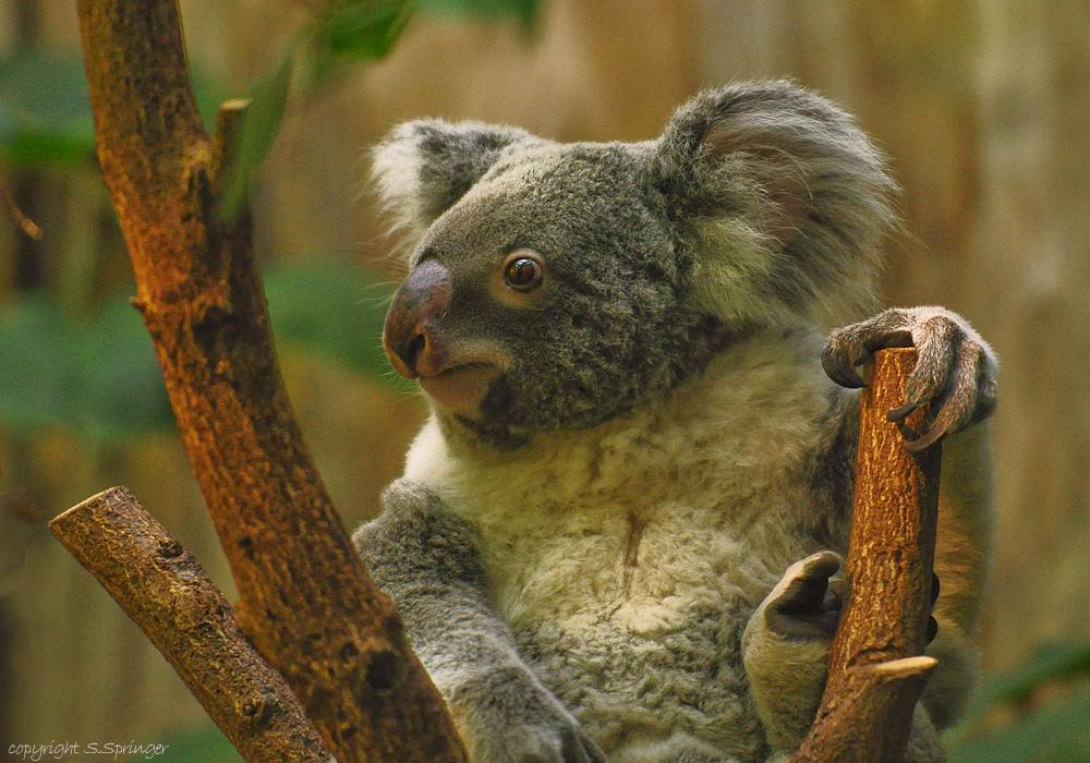 Koalabär....