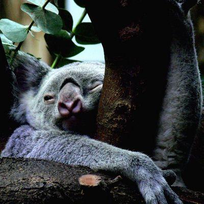 Koalabär im Duisburger Zoo
