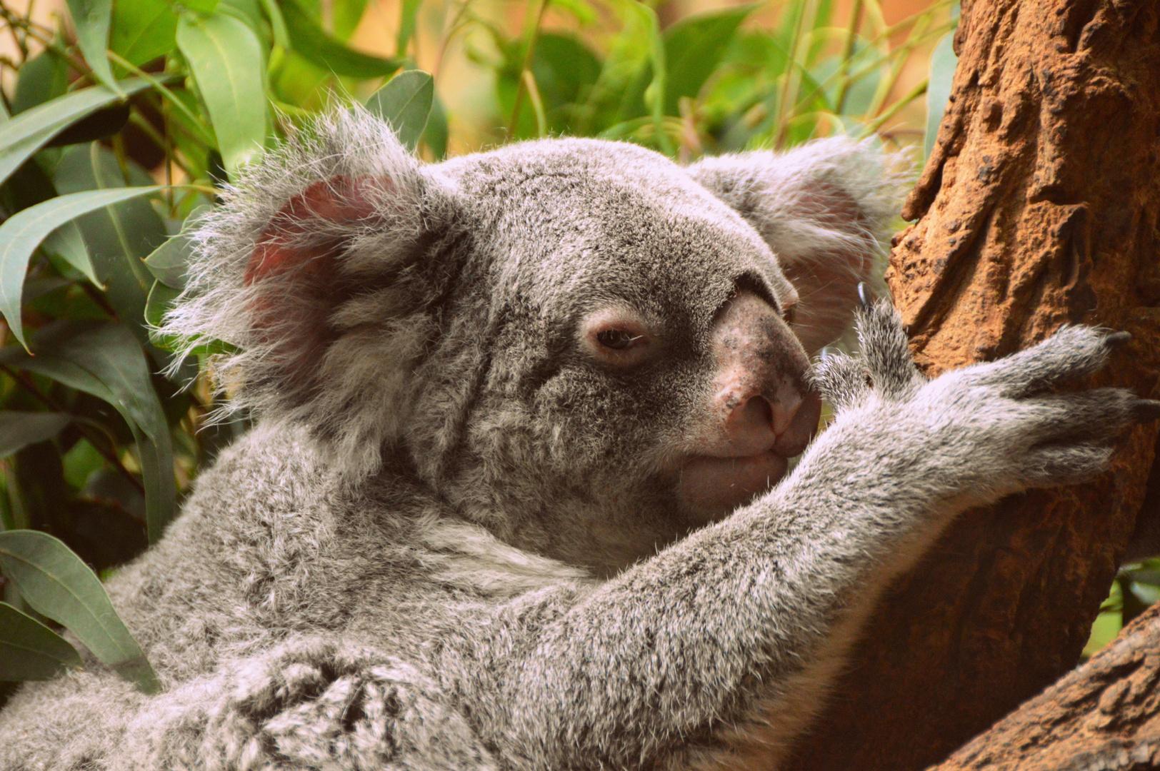 Koalabärchen :)