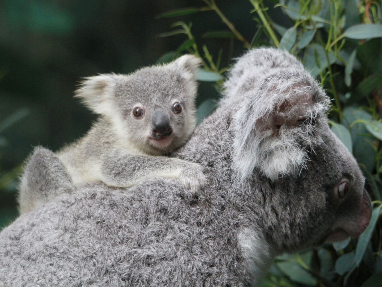 Koalajungtier aus dem Zoo Duisburg