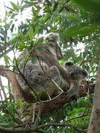 Koalamama und Junges