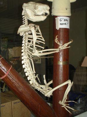 Koalas gehören zu den massiv vom Aussterben bedrohten Arten.