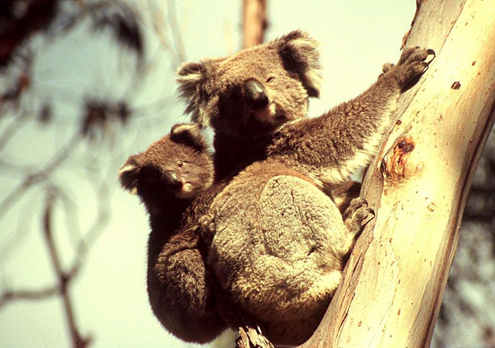 Koalas huckepack im Doppelpack