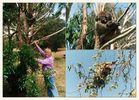 Koalas im Wildnis