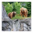 Kodiakbären