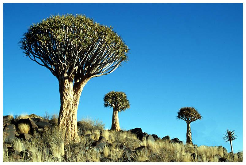 Köcherbäume (1)