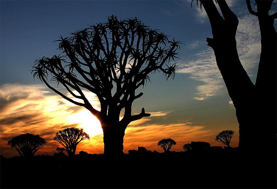 Köcherbäume in der Abendsonne