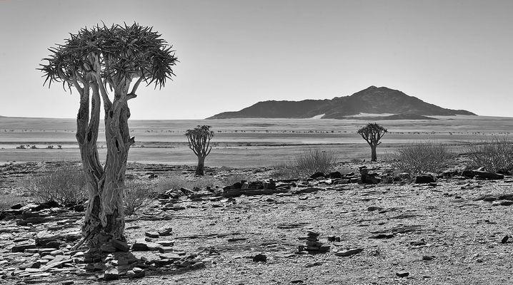 Köcherbäume in der Namib