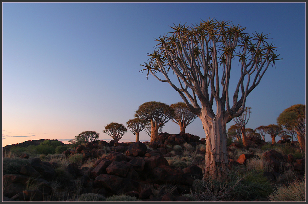 köcherbäume, koiimasis