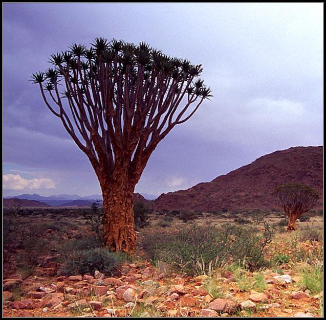 Köcherbäume3