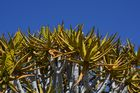 Köcherbaum (Aloe dichotoma) in der Blüte
