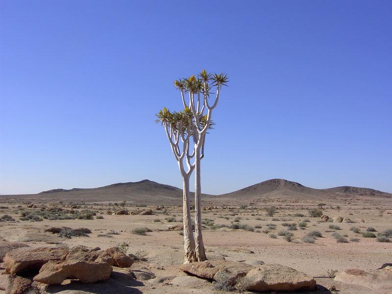 Köcherbaum in Namibia 04