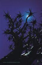 Köcherbaum (Namibia)