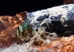 Köcherfliegenlarve im Süsswasser