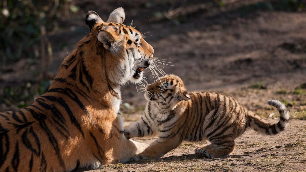 köln im tigerfieber!