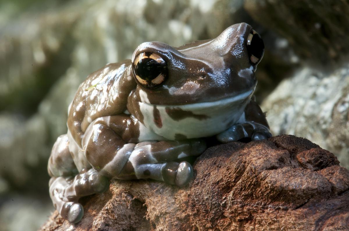 Kölner Aquarium: Baumhöhlen-Krötenlaubfrosch