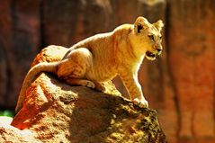 König der Löwen?