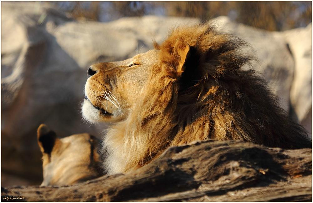 * König der Löwen *