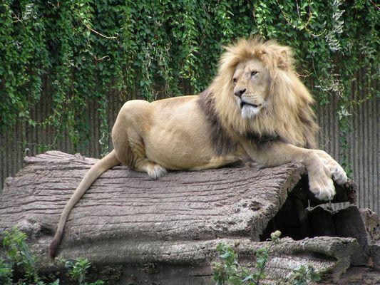 König der Löwen :)