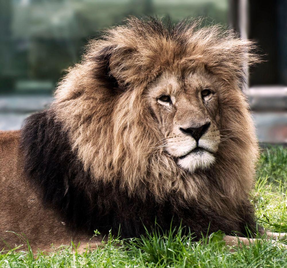 König der Löwen von MatthiasD700