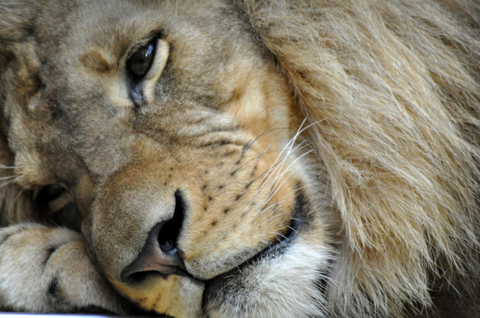 k nig der l wen zoo berlin foto bild tiere zoo wildpark falknerei s ugetiere bilder. Black Bedroom Furniture Sets. Home Design Ideas
