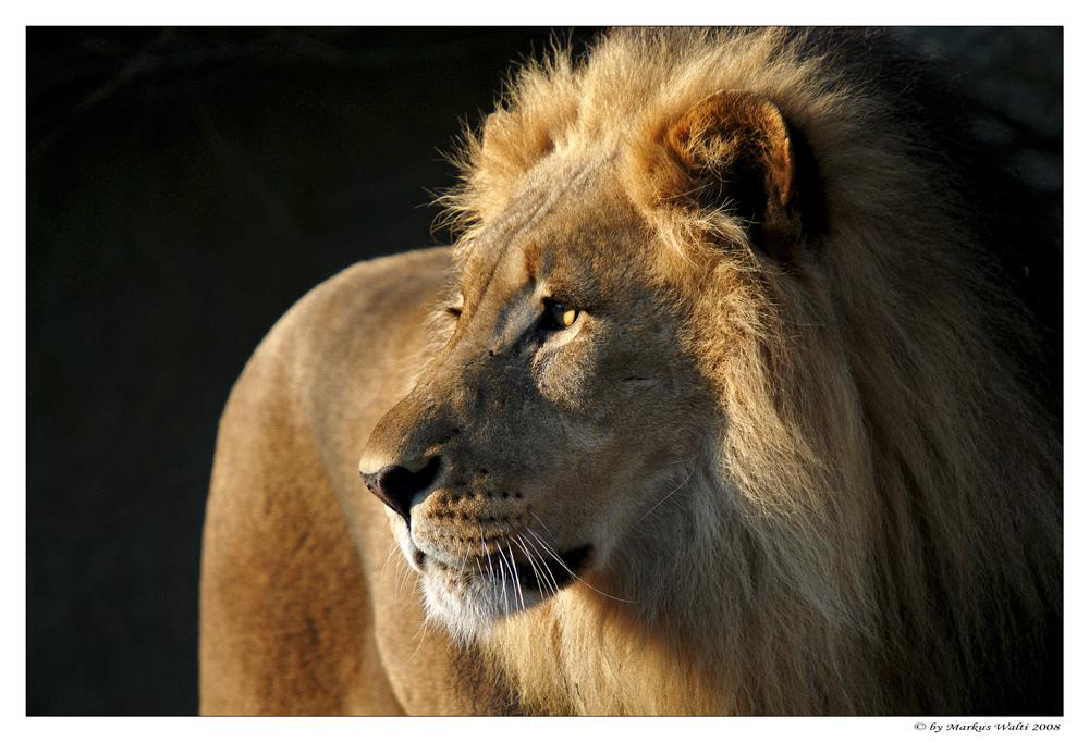 """""""König der Tiere"""""""