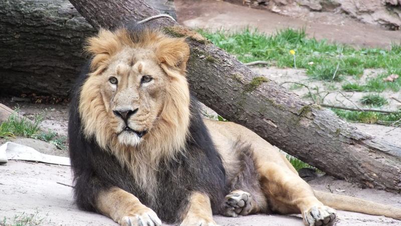 König der Tiere ...